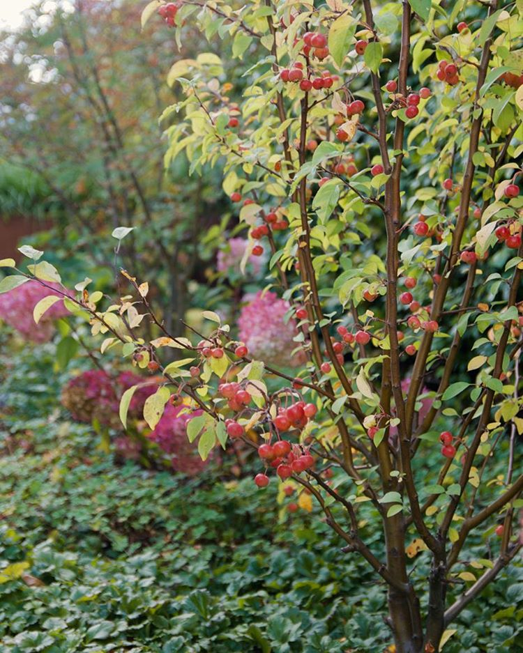"""Bild 5/5 i #trädgårdsutmaningen får bli på mina flerstammiga Malus """"Evereste"""". Fulla med små underbara prydnadsäpplen för tillfället! The last Pic in the #gardenchallenge, my multi-stemmed Malus """"Evereste"""". Full of bright red miniature apples at the moment! #arkitektenstradgard #gardenblog #Malus #autumngarden #trädgårdsdesign #trädgårdsinspiration #gardendesign #gardeninspiration #landscapearchitecture #landscapedesign #instagarden #höstträdgård"""