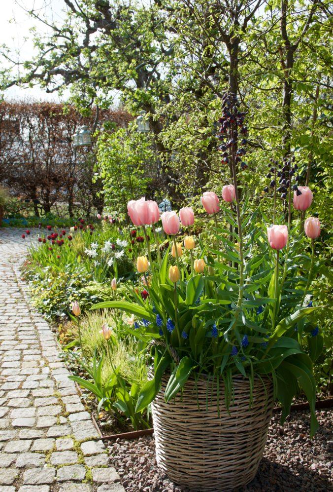 32651ef0fd Aprilväder och tulpaner - Arkitektens Trädgård