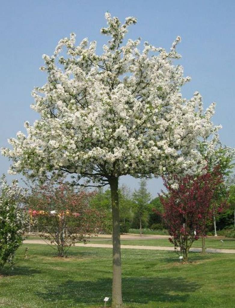 träd vita blommor maj